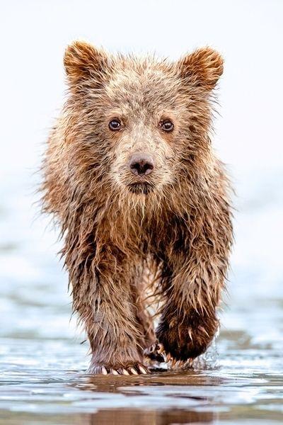 A little brown bear cub that took a swim<3