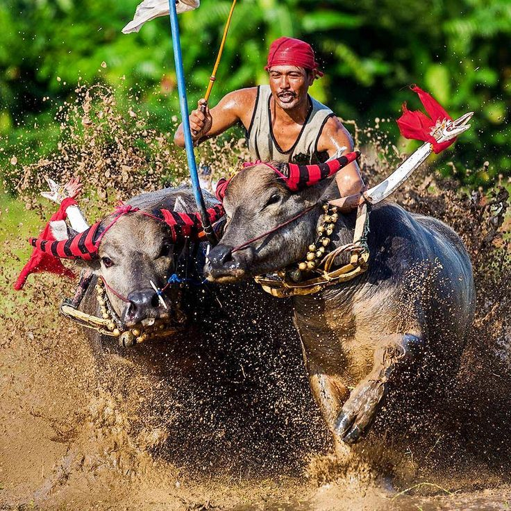 Tradisi Adu Balap Kerbau - Jembrana, Bali