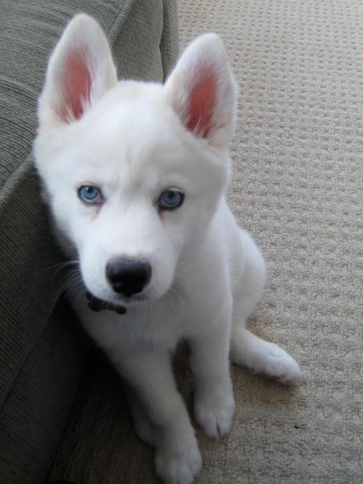 A White Husky Pomskywhite Puppies Cute Animals White Husky