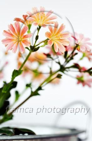 Broklewisia  framcaphotography.com