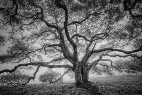 Majestic Old Oak, Black and White, Petaluma Northern California Photographic Print by Vincent James at AllPosters.com