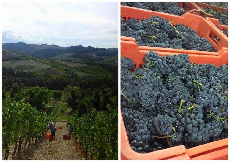 Harvest 2015 - Pinot Noir - Rocca de' Giorgi