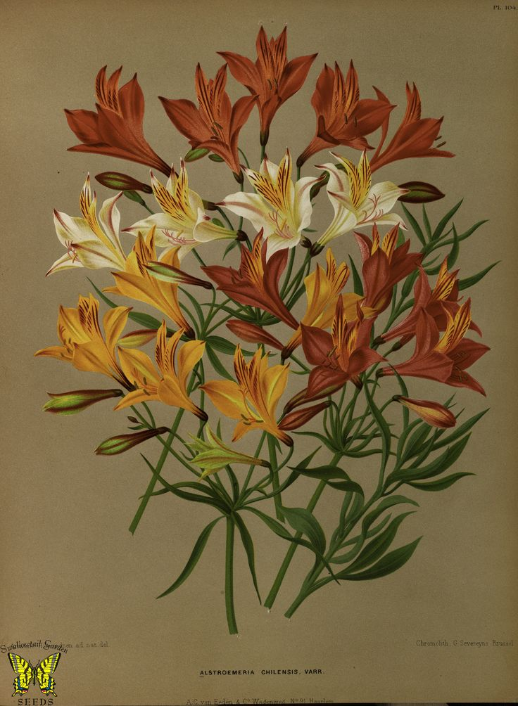 https://flic.kr/p/ojmXrp | Alsroemeria, St. Martin's flower. Alstroemeria ligtu. Native to Peru, Chile, and Argentina. Album van Eeden. Harlem's Flora, door A.C. Van Eeden & Co. (1872) | From our collection of botanical photographs, illustrations, and paintings.  We hope you will enjoy these images as much as we do.