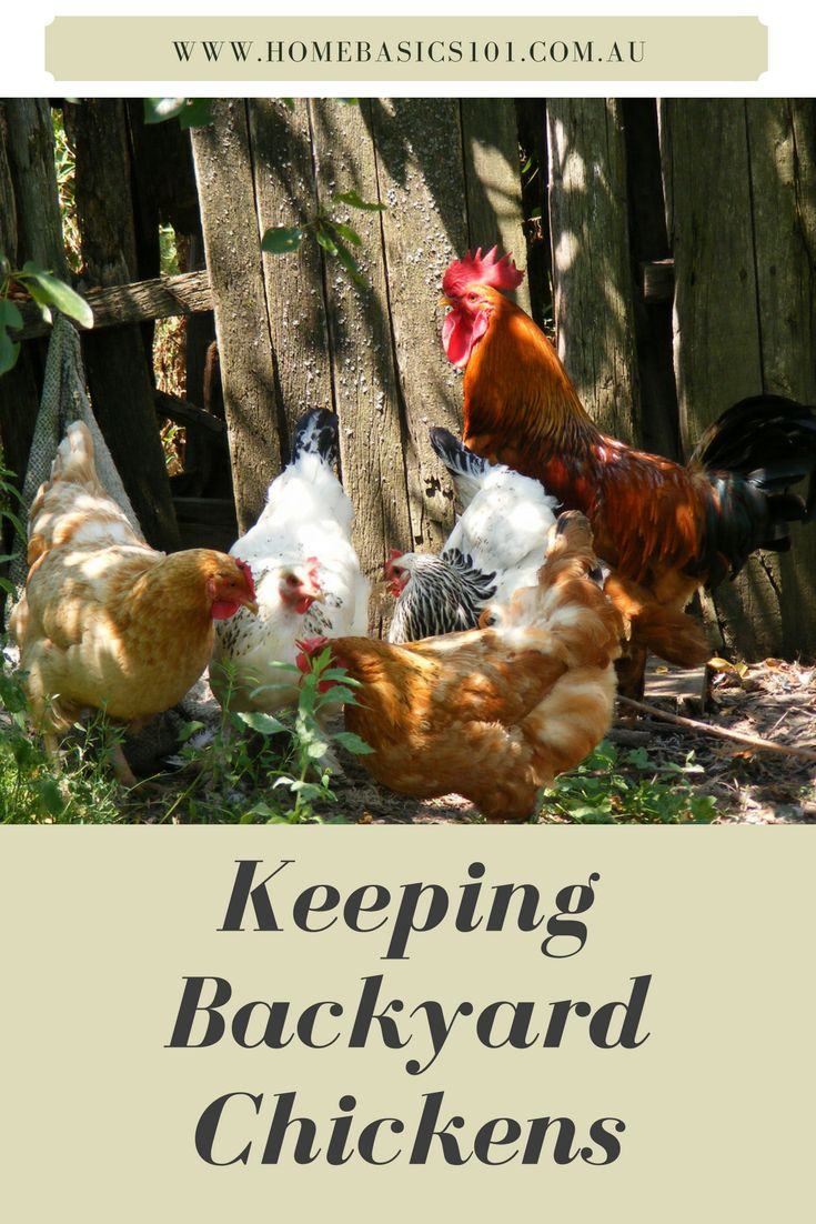 Keeping Chickens   After a great deal of mulling, our family has decided to keep some chickens for fresh eggs. But what should have been a relatively simple decision, became months of mind changing and uncertainty as I was unable to pin down a direction to take.  The main concerns I had was the type of coop to get