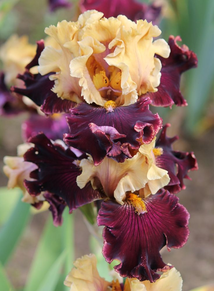 TB Iris germanica 'Catwalk' (Blyth, 2010)