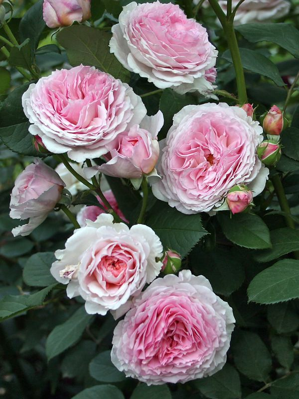 'James Galway'   Shrub. English Rose Collection. David C. H. Austin, 2000    @ Oliver