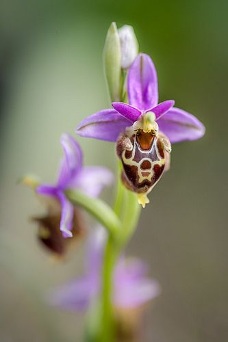 Ophrys heldreichii, one of the orchid species found in the wild on Crete, Greece.
