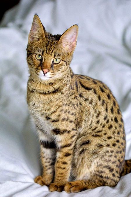 The Ocicat is a domestic breed of cat which looks like a wild ocelot (hence the name Ocicat) but has no wild DNA in its gene pool. The Ocicat was developed by breeding of Seal Point Siamese cats and Ruddy Abyssinians.