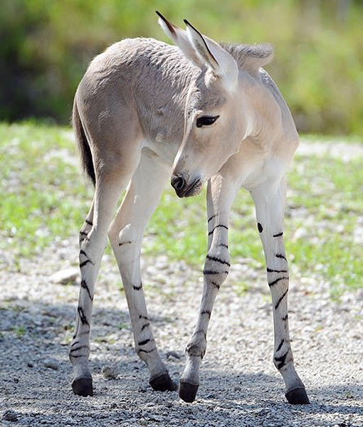 For the first time in the history of Zoo Miami, a critically endangered Somali wild ass was born. The foal and its mother, a 14-year-old named Lisha, were introduced to the public this week.