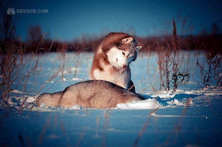 Сибирские хаски зимой   Фото хаски и маламуты