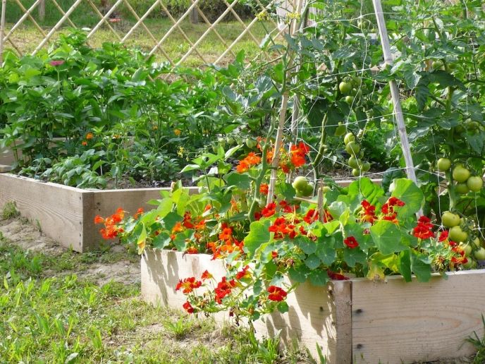 raised borders in rustic garden for a productive and pretty crop: tomatoes and nasturtiums are good companion plants