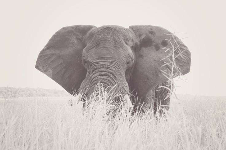 Lone Elephant. Black & White Digital Print by CarlyTakesPictures on Etsy