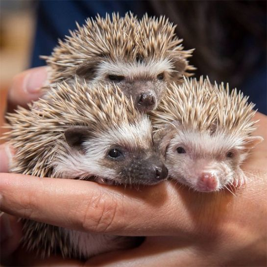 These Baby Zoo Animals Will Make Your Heart Explode With Joy #refinery29  http://www.refinery29.com/2015/03/84658/zooborns-instagram-cutest-thing-ever#slide-12  We've never gotten over the fact that a friend owned an African Pygmy Hoglet in college and we didn't. We're not bitter or anything. Maybe it's time for a trip to the Oregon Zoo?