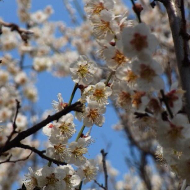 毎朝、通る時に気になっていた梅が満開になりました。Vol.1
