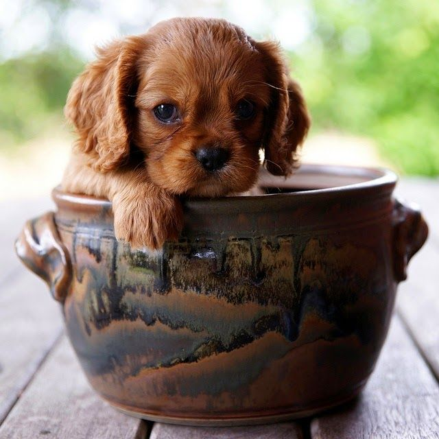 5 Mind Blowing Facts About Cavalier King Charles Spaniel