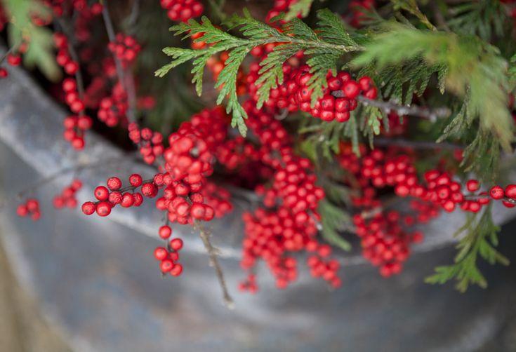 Christmas at Terrain, fresh winterberry. #giftsandgreens #shopterrain