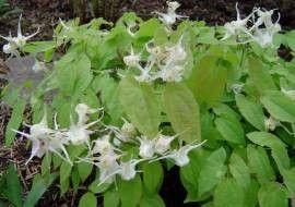 6 X Epimedium Youngianum 'niveum' - Elfenbloem Pot 9x9 Cm