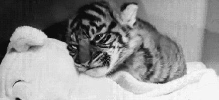 Immagine di tiger, cute, and animal