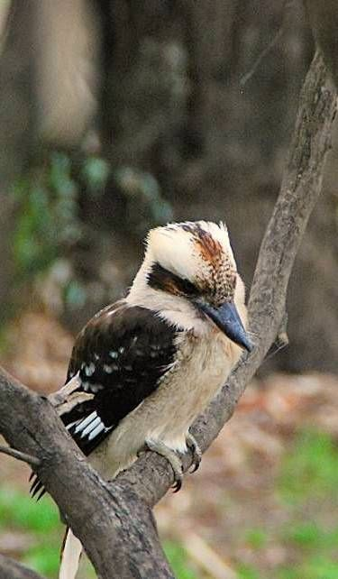 The importance of the kookaburra to the Wiradjuri people. The kookaburra is called gugubarra in Wiradjuri.