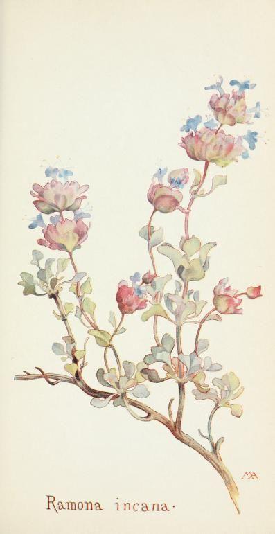 Field book of western wild flowers (1918)  |  Ramona