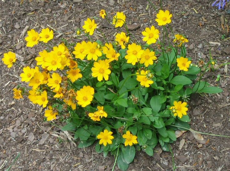 Dwarf Coreopsis Tickseed Mouse Eared Coreopsis 2015 My