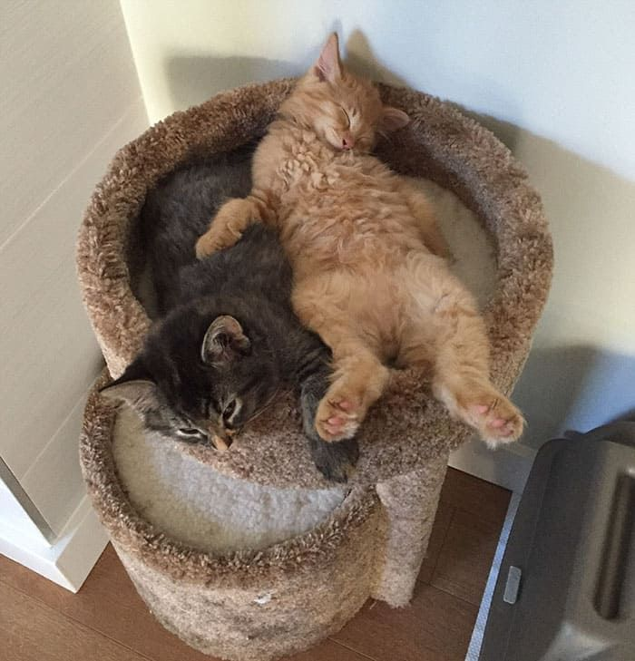 Cute Cats Insist On Sleeping Together Even After Outgrowing Their Beloved Cuddle Bed