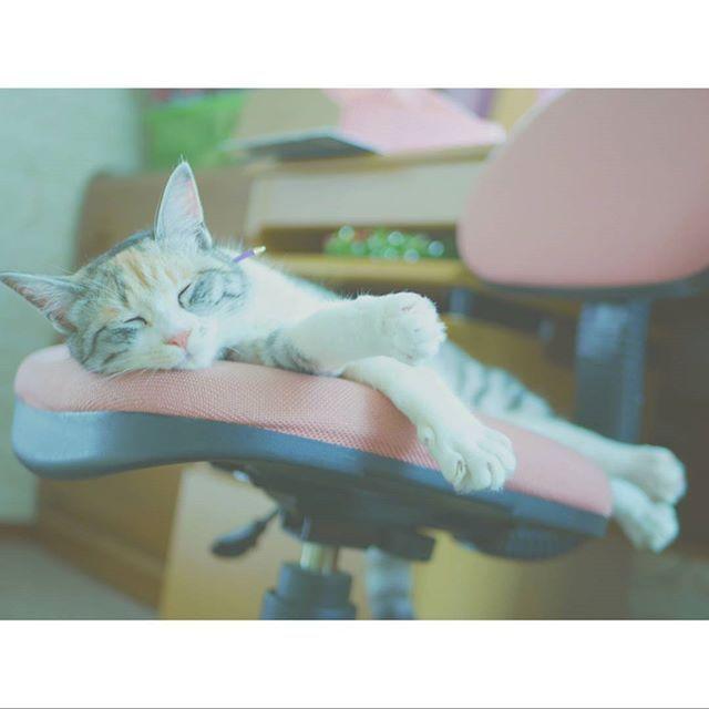 雨の日のお昼寝🐏💤 #猫#cat#にゃんすたぐらむ #catstagram #instacat #猫のいる暮らし#picneco#NEKOくらぶ #nekoくらぶ #三毛猫 #猫好きさんと繋がりたい #愛猫#にこちゃん#cute#写真好きさんと繋がりたい #ミラーレス一眼#カメラ初心者#lumixgx7#みんねこ