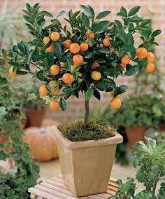 Como plantar árvores frutíferas em vasos                                                                                                                                                                                 Mais