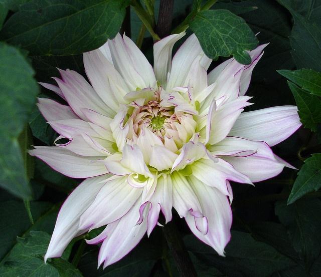 Dahlia 'Crazy Love': Photos, Dahlias, Gardening, White Garden