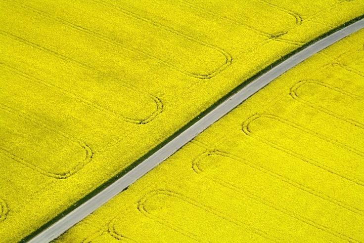 Canola fields.