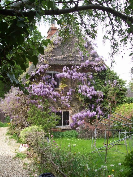 A cottage covered in wisteria --May in Shrivenham, Oxfordshire