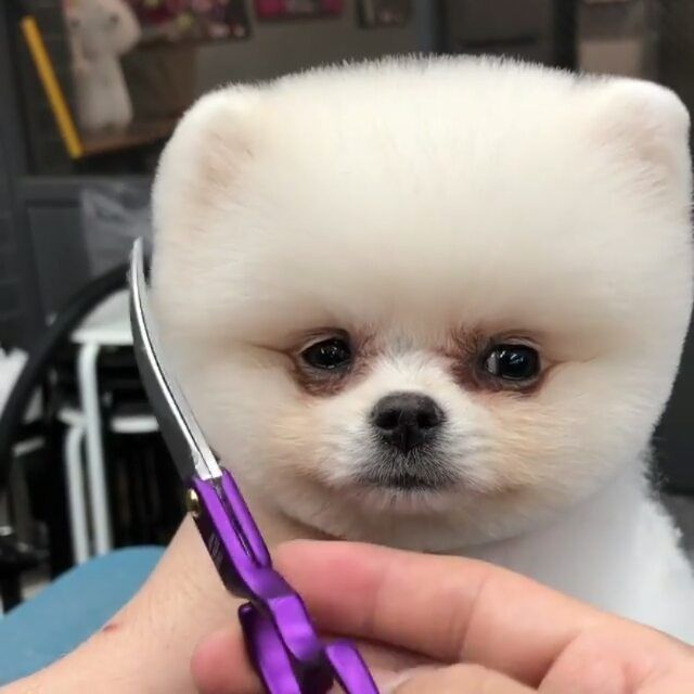 25 4k Likes 1 474 Comments Rare Puppies Rarepups On Instagram Perfect Haircut Comment Cute If You Love Puppies Boo The Dog Puppies Puppy Haircut