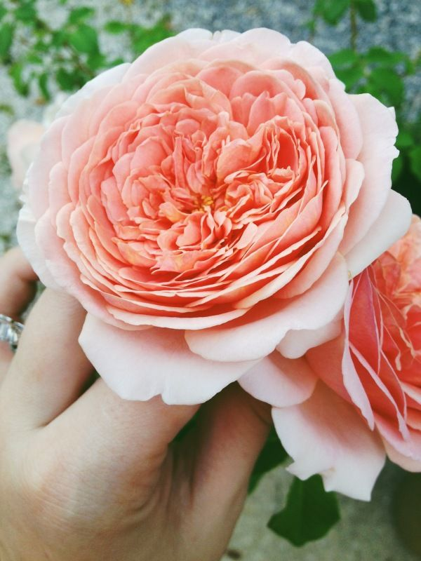 Abraham Darby Rose from David Austin Roses excellent production of flowers and holds well in arrangements.