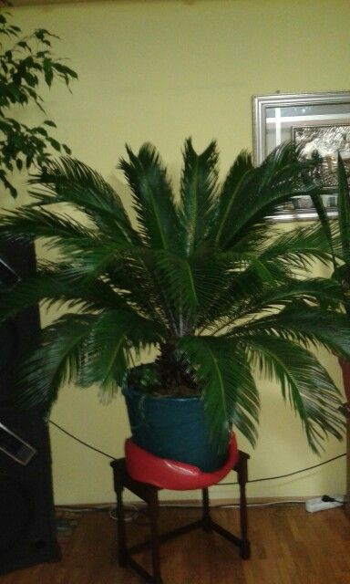 That's my Cycas , now, în december