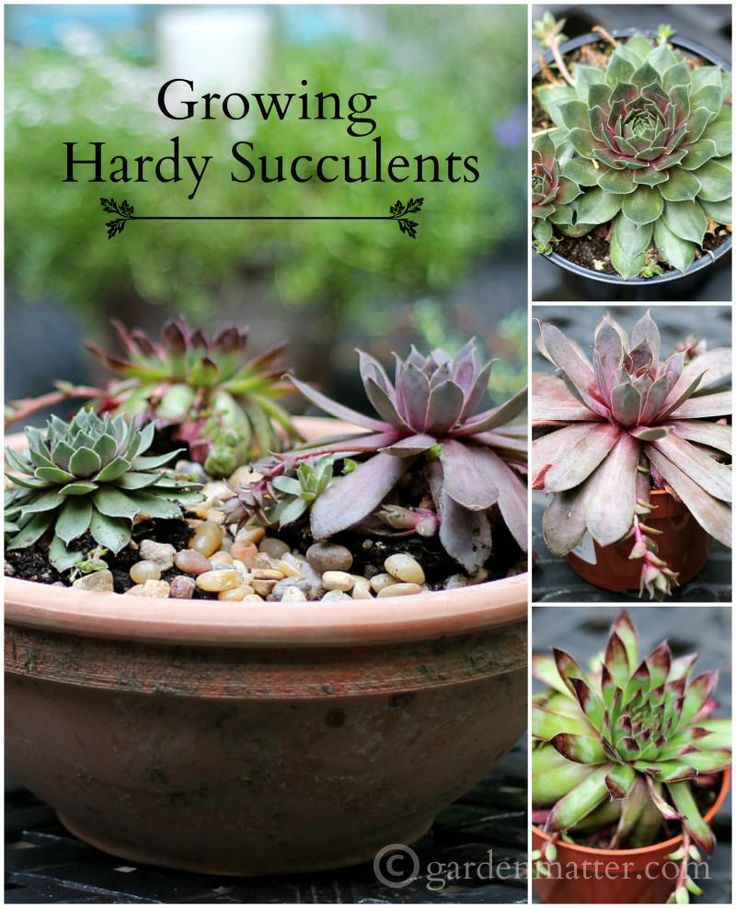 Remember these ground cover plants from your grandmother's garden? If you live in a northern climate these are the succulents you want to use for planters and projects. Now they come in a variety of beautiful colors to play with too.