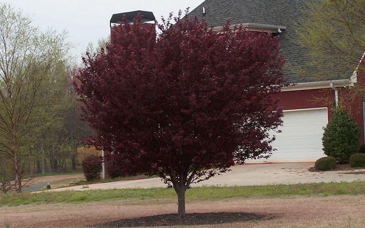 Prunus Cerasifera Purple Leaf Plum Prunus cerasifera, Pur...