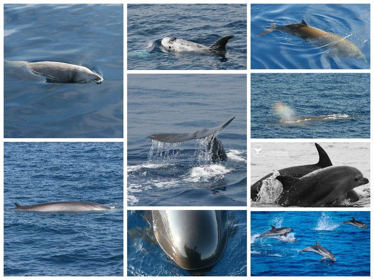 Grampi, Stenelle, Capodogli, Balenottere, Tursiopi, Zifi ...  vi aspettano nel Santuario dei Cetacei in Mar Ligure  #balenae