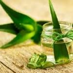 #fasting #primal Can Aloe Vera Play a Role in Managing Type 2 Diabetes?  Pre-diabetes and metabolic syndrome which follows it are parts of interrelated common clinical disorders that are accompanied by symptoms of obesity, insulin resistance, glucose intolerance, lipid abnormalities, impaired fasting glucose, and impaired ... http://www.diabetesincontrol.com/aloe-vera-has-antidiabetic-properties/