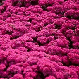 7 best jardin plantes couvre sol images on pinterest. Black Bedroom Furniture Sets. Home Design Ideas