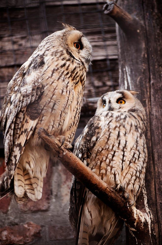 Did you hear about Masie and her neighbor's husband? Long Eared Owls