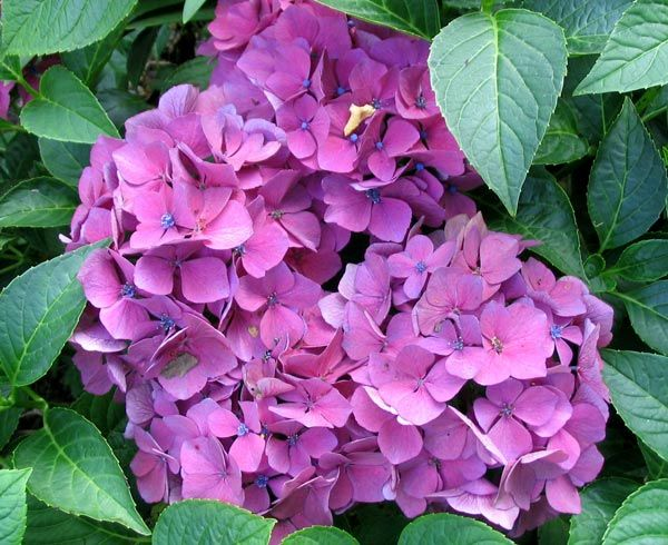 Hydrangeas, love em... not so lucky at getting them to love ME... LOL!