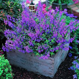 Angelonia -It's easy to grow and flowers profusely great plant for our dry spells and heat. Not fussy about soil either. Butterflies love it!