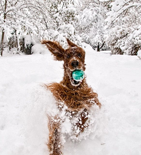 I got it....Puppies, Ball, Irish Set, Winter Wonderland, Snow, Plays, Fun, Happy Dogs, Animal