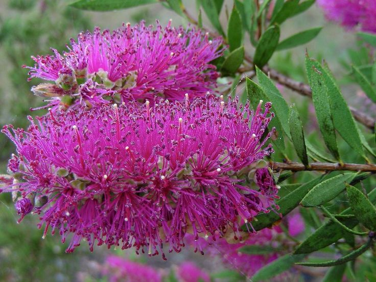 And the beautiful Bottle Brush (Calistemon sp.) in flower - superb