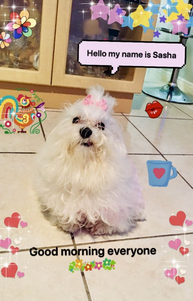 Pin By Paula Riddlebaugh On Teacup Maltese Puppies Teacup Puppies Maltese
