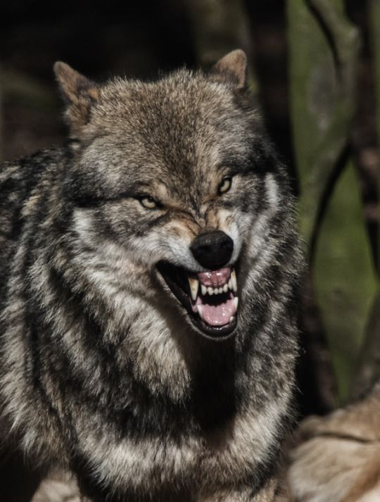 The world of wolves. Wolves will defend their food and their pack.