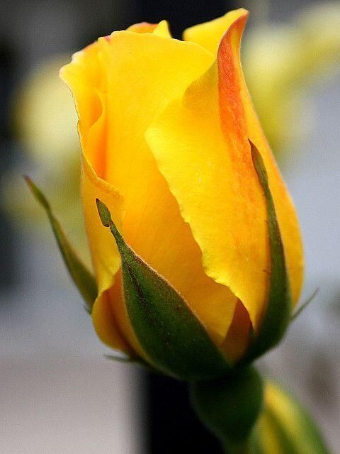 1015 best images on pinterest beautiful flowers rose trees yellow rose bud mightylinksfo