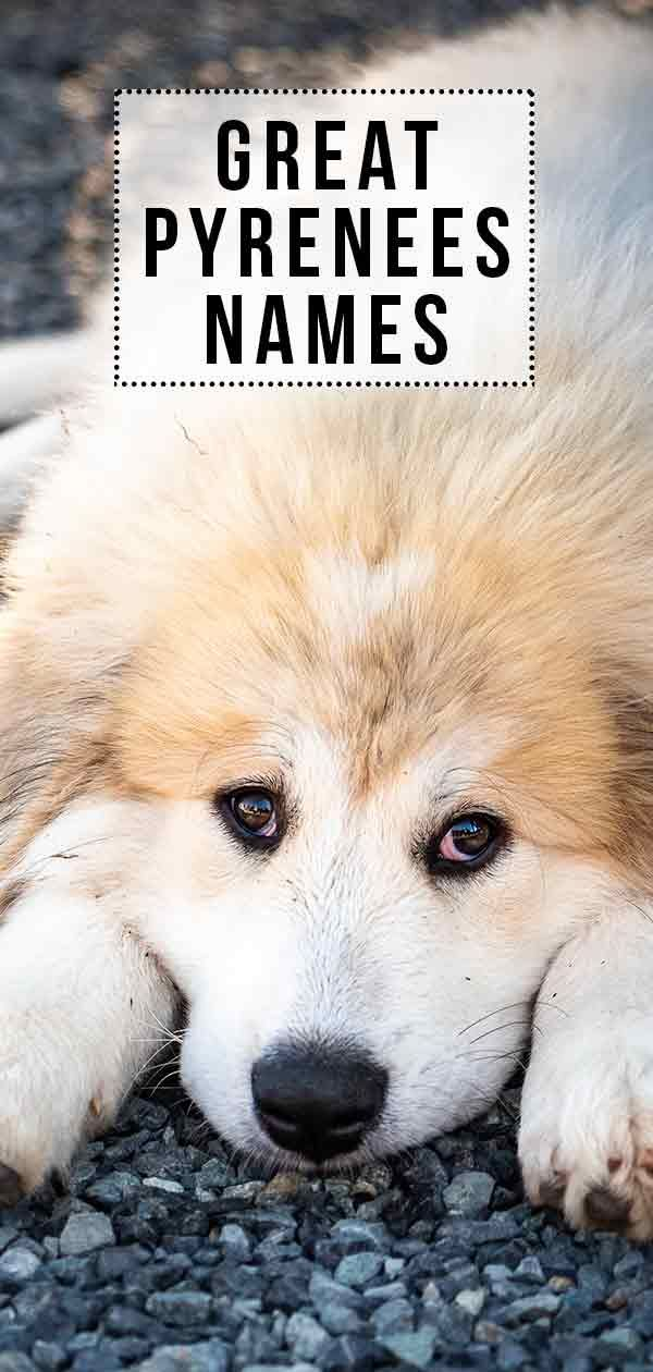 Great Pyrenees Names Great Names For Your New Great Friend