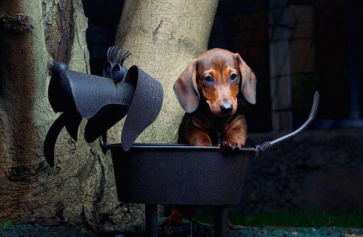 Щенки таксы (фото): низкая собака с высоким интеллектом и морем обаяния