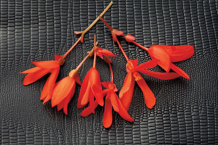 Bossa+Nova+Orange+-+Begonia+boliviensis